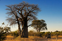 A 4x4 passes by several baobabs stationed along the road near the camp Savute Elephant Camp by Orient Express in Botswna , in the Chobe National Park . If we discover one of the world 's rarest trees , we can not take a look at Baobab or Adansonia . From Africa , not known for the beauty of its foliage and the showy and aroma of flowers and fruits , rather, lack of it , and therein lies its charm. With an almost prehistoric, but does not reach the size of a giant redwood , the truth is that your hand, anyone feel small . There are eight species of baobab , seven of which are found in Africa , six are endemic to Madagascar and one in Australia . It is one of the iconic trees of the African island , and as many plant species , its origin holds a legend. They baobab in Africa was one of the most beautiful trees of the continent, admired by all for their foliage and flowers. His vanity grew so much that the gods punished him , burying its branches and exposing their roots. Indeed , it seems an inverted tree with its branches spread in anarchic order , aims seek forgiveness from the gods. A very peculiar tree can reach a height of more than thirty meters and a width that reaches twelve feet in diameter. These dimensions vary depending on the species: Adansonia digitata , native to continental Africa , or randidieri adansonia , Madagascar, can measure more than 25 meters , while the variant of Australia , Adansonia gibbosa , rarely reaches ten meters and rubrostipa adansonia usually measured half