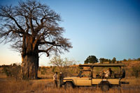 One of the 4x4 vehicles Orient Express makes a stop along the way at sunset to have tea and watch the sunset next to a baobab. Near Camp Savute Elephant Camp by Orient Express in Botswna, in the Chobe National Park. Different species of baobabs: Adansonia digitata: the baobab par excellence. It grows in all continental African semiarid, reaches 25 m in height and 10 meters in diameter. The cup is rounded and has one or more secondary trunks. Leaves having 5 to 7 leaflets. The fruit is spherical or ovoid. In the Sahel there are four types of this species, the black bark, the red bark, the bark gray and dark leaf (dark leaves). The latter is most appreciated leaves as a vegetable, gray is best for the fiber and the other for the fruits. Adansonia grandidieri. Proper of Madagascar, is the most high (25 m) and slender than the others; acilindrado and smooth. It is also the tree that has more uses and has been tapped. The bark, of a reddish gray, and that the mature tree is 10 to 15 cm thick, is so fibrous that there is any tree that is removed to a height of two meters for fabrics as they readily regenerated. The fruit is globose, twice as long as wide. The pulp of the fruit is eaten fresh and seed oil is extracted for cooking. In some areas the goats fed with these berries, the goats digest the pulp and expel the entire seed. Wood, sponge, is rich in water and has concentric rings showing the growth years. According to legend, the trees of this species harboring solitary spirits, and it is not unusual offerings at the feet of the larger fish. Adansonia gregorii (syn. A. gibbosa). Endemic to Australia. It grows on rocky outcrops, riverbeds and flood plains of northwestern Australia. Rarely exceeds ten feet tall and the cup is irregular. Check the leaves between November and March. The Australians call it dead rat tree or bottle tree.