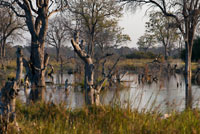 "Flooded landscape llvuas at the time of the Okavango Delta Khwai River camp near Lodge of Orient Express in Botswana, within the Moremi Game Reserve Wild. Botswana. Despite being neither a national park nor a reserve, Okavango Delta Botswana is what it might mean for South Africa Kruger or Serengeti to Tanzania. No safari in Botswana would be complete without visiting this wonder of nature. Given the importance of this delta is in the whole ecosystem of the country, has a special niche. The Okavango Delta covers an area of ??about 15000 km2 through a maze of lagoons, channels and islands before disappearing in the south in the sands of the great desert of the Kalahari, indeed, the delta is known as ""the jewel of the Kalahari ""to be a real natural oasis amid the aridity of the land. Each fall, the abundant rains of the highlands of Angola enliven this parched landscape located more than 1000 km away. The rain water from the hills down to the Okavango River, which through its 1430 km long flowing through the Caprivi region of Namibia before entering Botswana to the east of Shakawe. That's when more than 18.5 billion cubic meters of water are scattered across the plains of the landscape into the wilderness. As water basins are filling the dusty landscape is coming alive becoming a beautiful mosaic of lush meadows, marshes, forests of miombo, mopane forests, islands and lagoons flooded open papyrus dominated, palm trees and winding canals covered by millions lily."