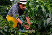 A farmer collects the coffee in the San Alberto. (Buenavista, Quindio). San Alberto captures the work of a family for over 35 years has worked with passion and dedication to offer the world achieve the best fruits of a blessed land. In 1972 Gustavo Leyva Monroy buy the Hacienda La Alsace, and it acquires the name of St. Albert, in honor of his son Gustavo Alberto, who died in a plane crash. There is no absolute certainty about the conditions under which coffee came to Colombia. The historical evidence indicate that the Jesuits brought seeds of grain to New Granada in 1730, but there are different versions about it. Tradition says that the coffee beans arrived from the east, carried by a traveler from the Guianas and through Venezuela. The earliest written evidence of the presence of coffee in Colombia is attributed to the Jesuit priest José Gumilla. In his book The Orinoco Illustrated (1730) recorded its presence in the mission of St. Teresa of Tabajé, near the mouth of the Meta River in the Orinoco. The second written testimony belongs to the Archbishop-Viceroy Caballero y Gongora (1787) who in a report to the Spanish authorities recorded its cultivation in regions near Girón (Santander) and Muzo (Boyaca). The first coffee crop grown in the east of the country. In 1835 came the first commercial production and the record shows that the first 2,560 bags were exported from the office of Cucuta, on the border with Venezuela. According to testimony at the time attributed to Francisco Romero, a priest during confession imposed by the parishioners of the population of Salazar de las Palmas penance to plant coffee, a big boost in spreading the cultivation of grain in this area of the country. These seeds have allowed the presence of coffee in the departments of Santander and Norte de Santander, in the northeast of the country, and their subsequent propagation, since 1850, toward the center and west through Cundinamarca, Antioquia and the area of Old Caldas (see map Arrival and expansion of coffee in Colombia).