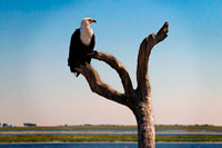From Victoria Falls is possible to visit the nearby Botswana. Specifically Chobe National Park. African Fish Eagle (Haliaeetus vocifer) in Chobe National Park in Botswana. African fish eagles are familar birds of prey on the waterways of sub-Saharan Africa, noted for their distinctive and haunting call. These eagles perch on branches overlooking the water, swooping down to catch fish which are then carried back to the perch or dragged to shore if too big to carry. African fish eagles also eat birds, monkeys and even crocodile hatchlings. These efficient predators can get away with spending as little as 10 minutes a day actively hunting. The African fish-eagle is a proficient hunter, with live fish accounting for the bulk of its diet. It typically hunts from a high perch on a waterside tree, where it can watch for fish moving close to the water's surface. Once prey is sighted, the fish-eagle launches from its perch, swoops low over the water, and at the critical moment throws both feet forward to seize hold of its target with powerful talons.